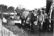 "The horse ""Prince'' rescued by German Internees Berrima NSW"